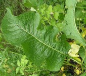 листья хрена при варикозе