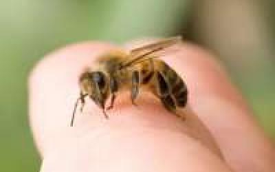 пчела при варикозе