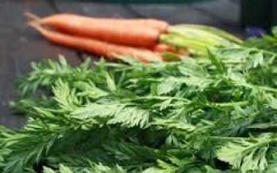 морковная ботва от варикоза